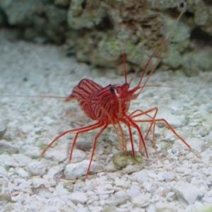 reef safe shrimp