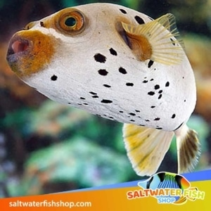 salt water fish for sale