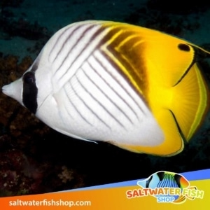 saltwater fish for sale online