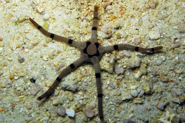 banded serpant starfish