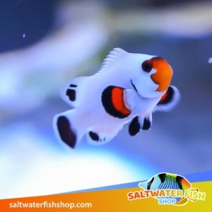 blizzard clownfish