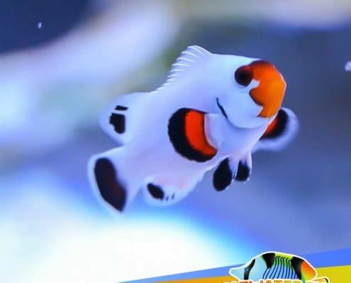 blizzard clownfish