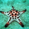 Chocolate chip starfish for sale