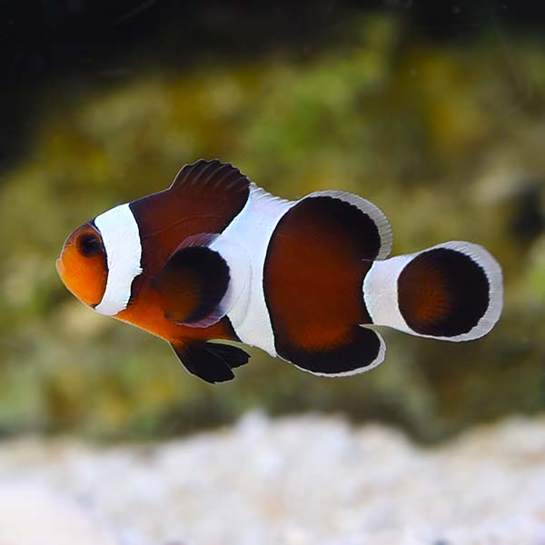 chocolate clownfish for sale