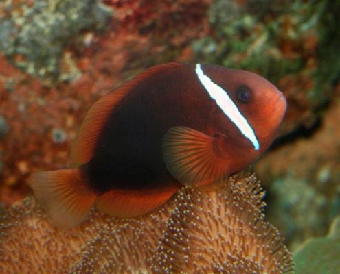 fire tomato hybrid clownfish for sale