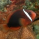 fire tomato hybrid clownfish for sale