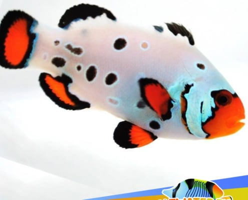 frostbite clownfish for sale