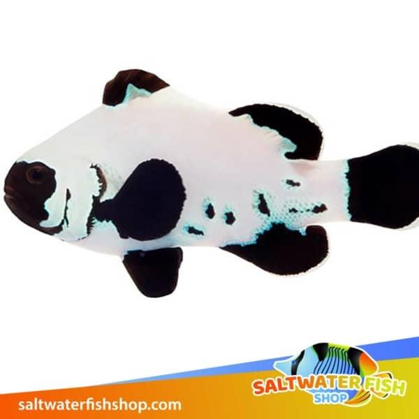black frostbite clownfish