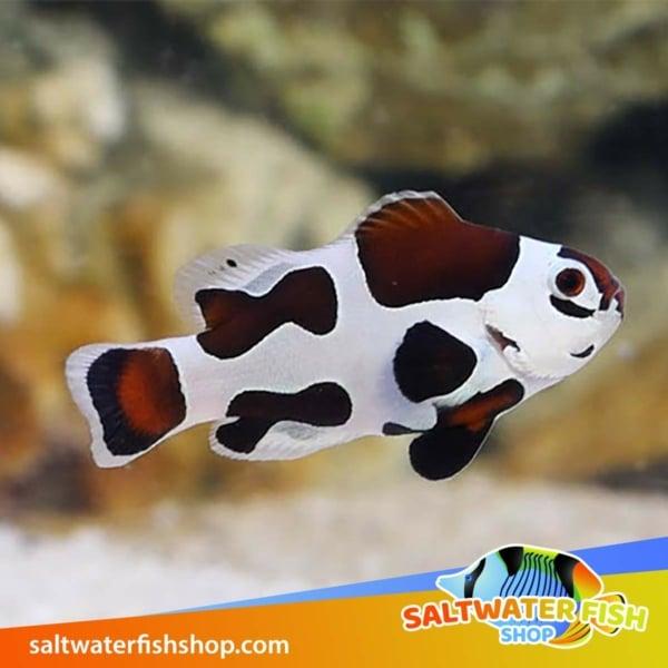 mocha storm clownfish