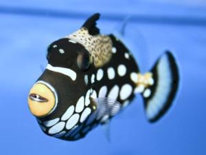 baby triggerfish